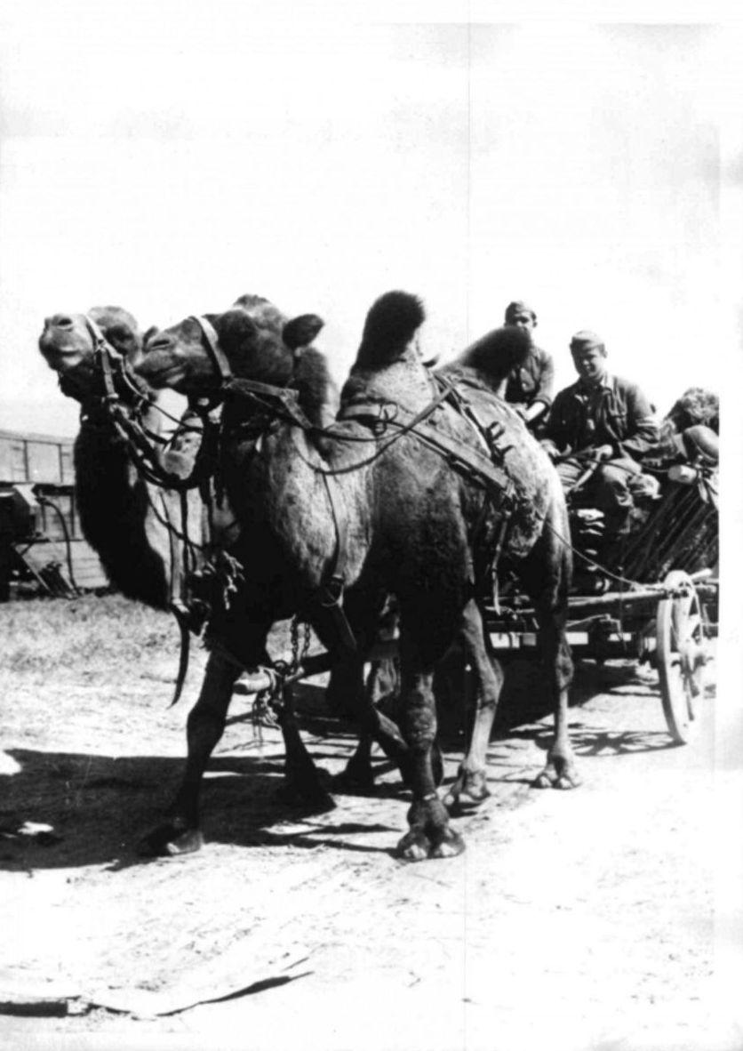 1942. Захваченные верблюды используются германской армией в Сталинграде в качестве тягловой силы