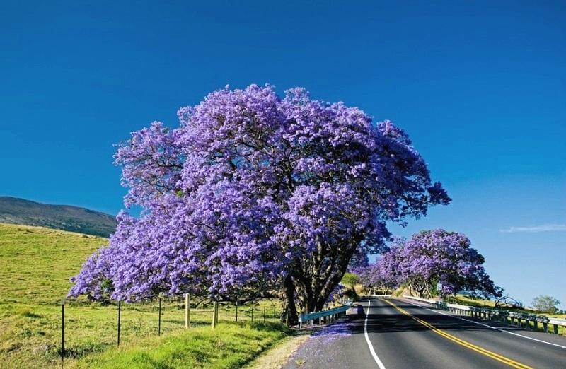 Hermoso árbol de violeta Jacaranda