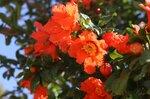 На майском солнце алые цветы гранатового дерева пылают...