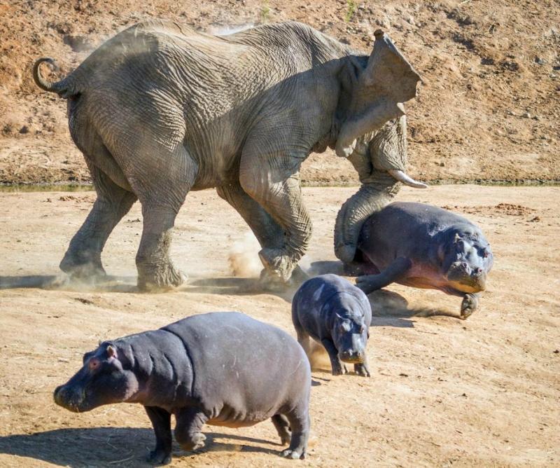 Стычка слона с бегемотами   жесткая защита своего потомства африканскими гигантами
