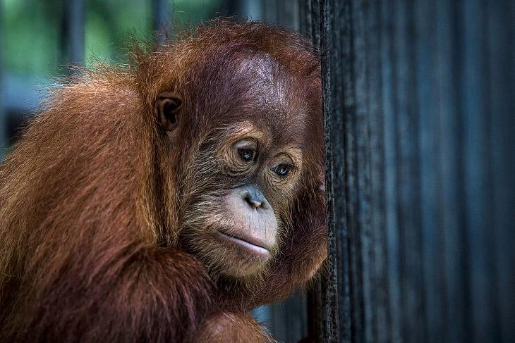 Цель этого центра, который располагается на Суматре в Индонезии — реабилитация этих умных обезь