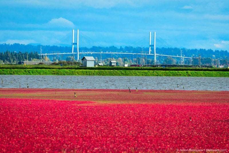 Клюква (англ. cranberry) — растение болотное, но в сельском хозяйстве выращивается на сухой почв
