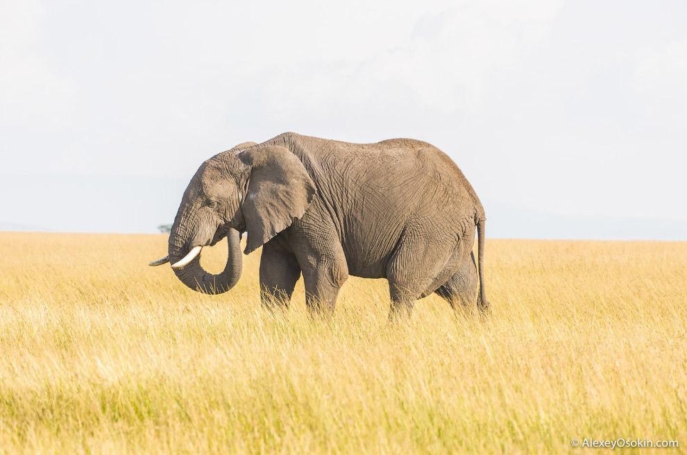 7. Африканский страус — самая крупная из современных птиц: высотой до 270 см и массой до 156 кг