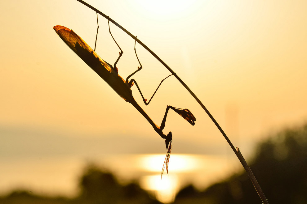 5. Паук-скакун. Это активные дневные охотники. У них хорошо развита внутренняя гидравлическая с