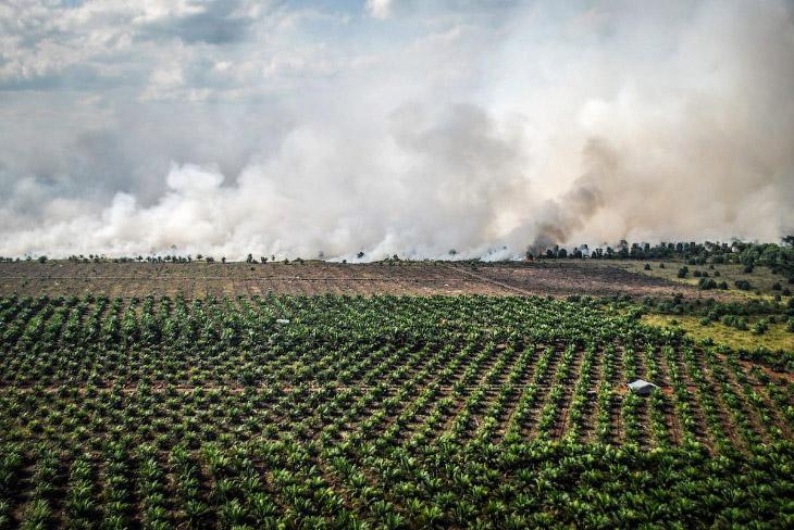 2. На заднем плане — бесконечные посадки масличных пальм, спереди — уничтожение леса под новые плант