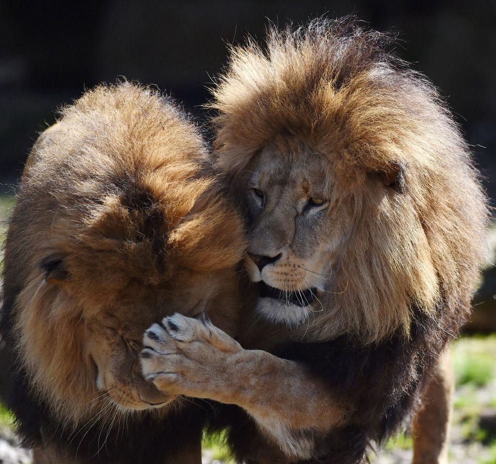 18. Как сурикат. Леопард осматривает окрестности в необычной позе в национальном парке Крюгера,