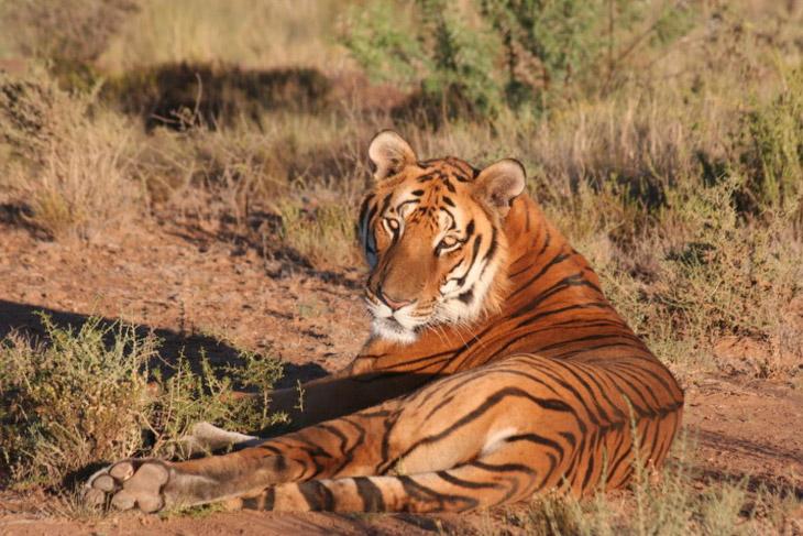 2. А вот другому представителю тигриного семейства не повезло так, как его родственникам из России —