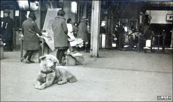 Акита-ину (японская порода собак) Хатико