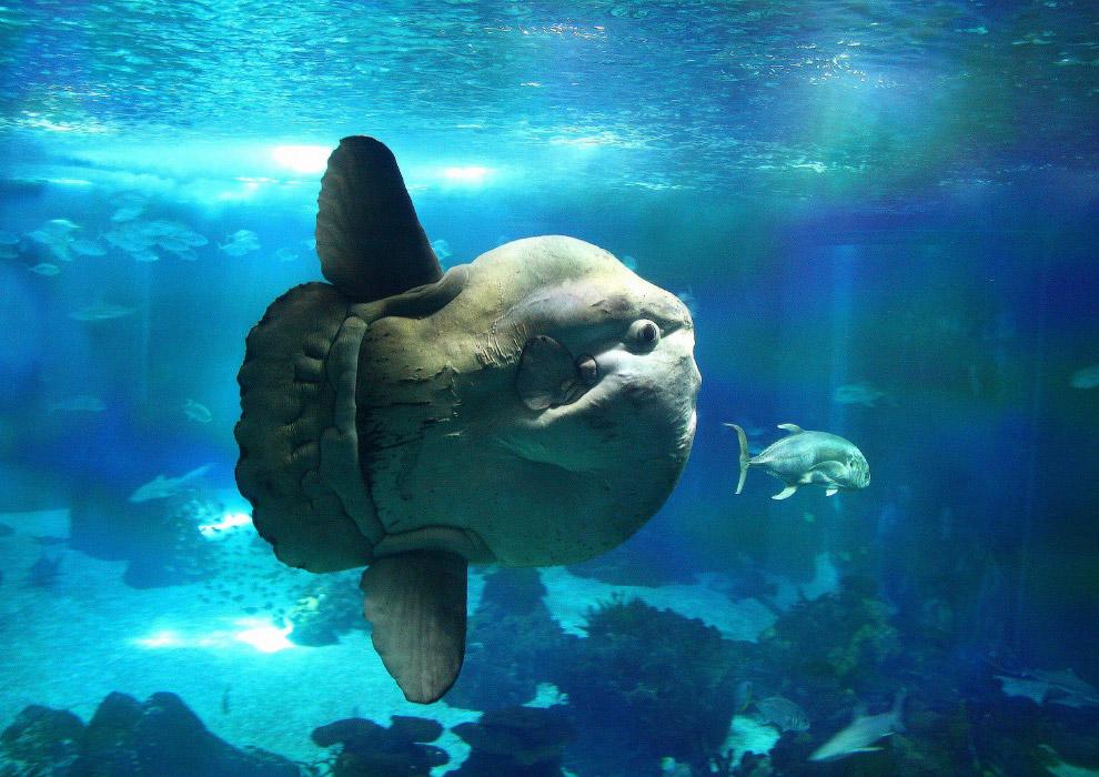 Большую часть своей жизни Мола-Мола проводит на глубине 200 метров и поднимается ближе к поверх