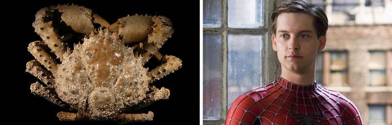 11. Краб-паук и Человек-паук. Колючий краб-паук, обнаруженный в Южной Флориде, был назван в честь ак