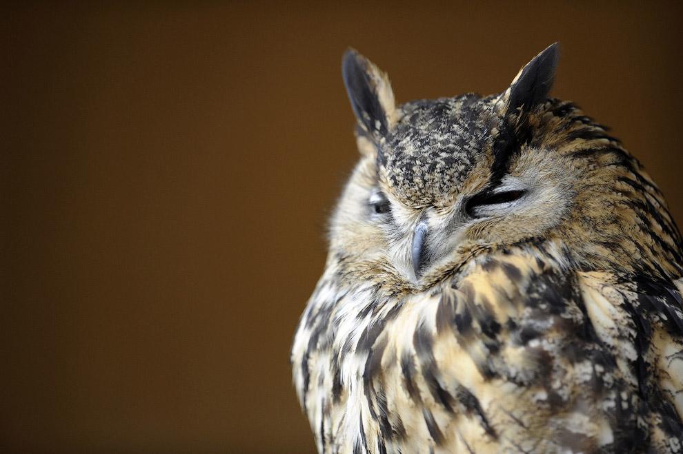 18. Бородатая неясыть. Длина тела птицы достигает 80 см, размах крыльев — 1,5 м. Большеголовая