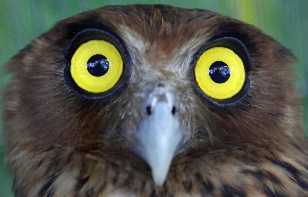 23. А закончим мы знакомство в супер-совами портретом белолицей совки, которая знает толк в поз