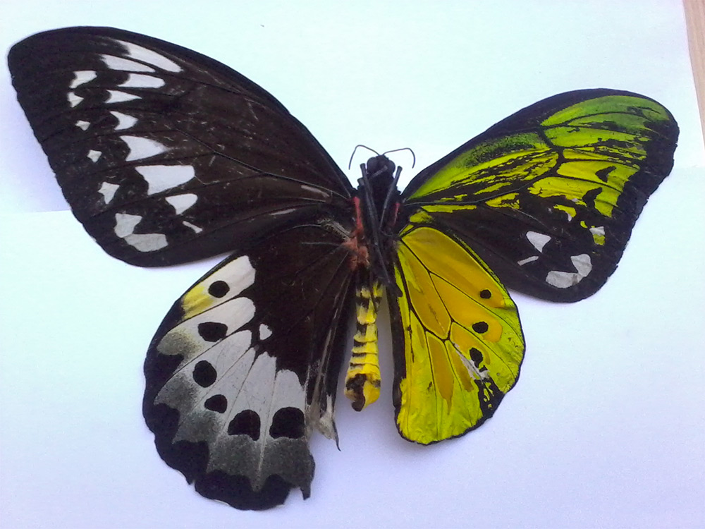 Spectacular Genetic Anomaly Results in Butterflies with Male and Female Wings