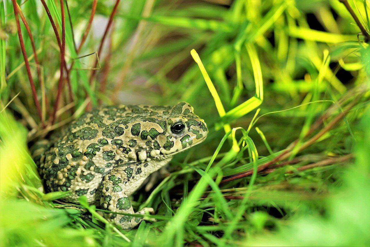 зеленая жаба фото и описание речь идет обработке