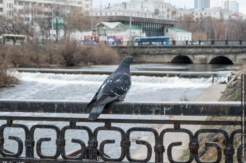 голубь на перилах Исеть Екатеринбург весна 2017