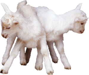 козлята
