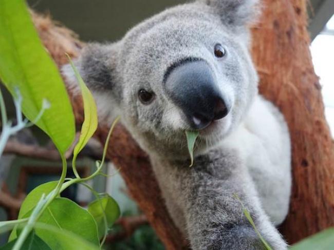 © wildlifesydney  Аэто фото изодного изавстралийских зоопарков. Аллан Диксон (Allan Dixon)