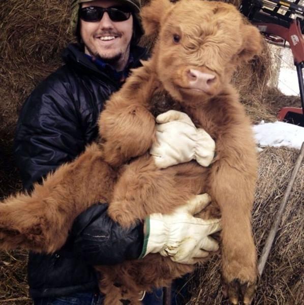 Ласковый шотландский теленок.