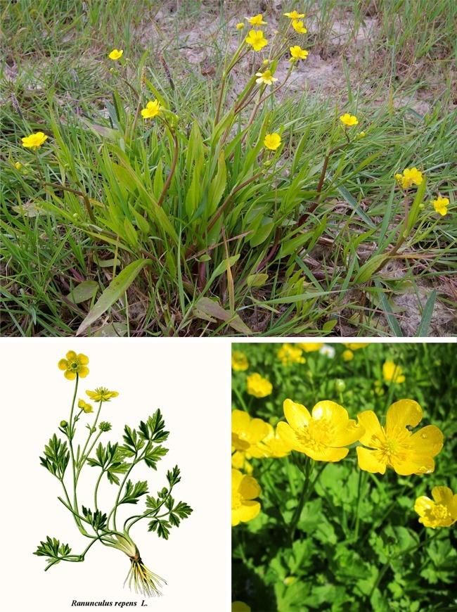 11страшно ядовитых растений, окоторых необходимо знать каждому (11 фото)