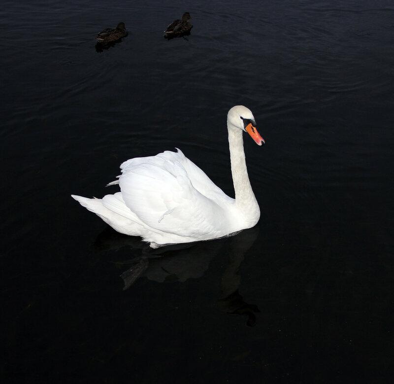 Лебедь в Себеже