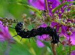 Черноокая гусеница
