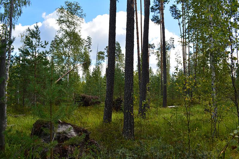 солнечный лес 16 7.jpg