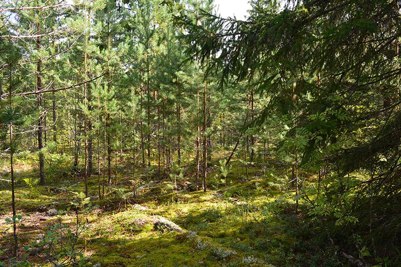 солнечный лес 16.jpg