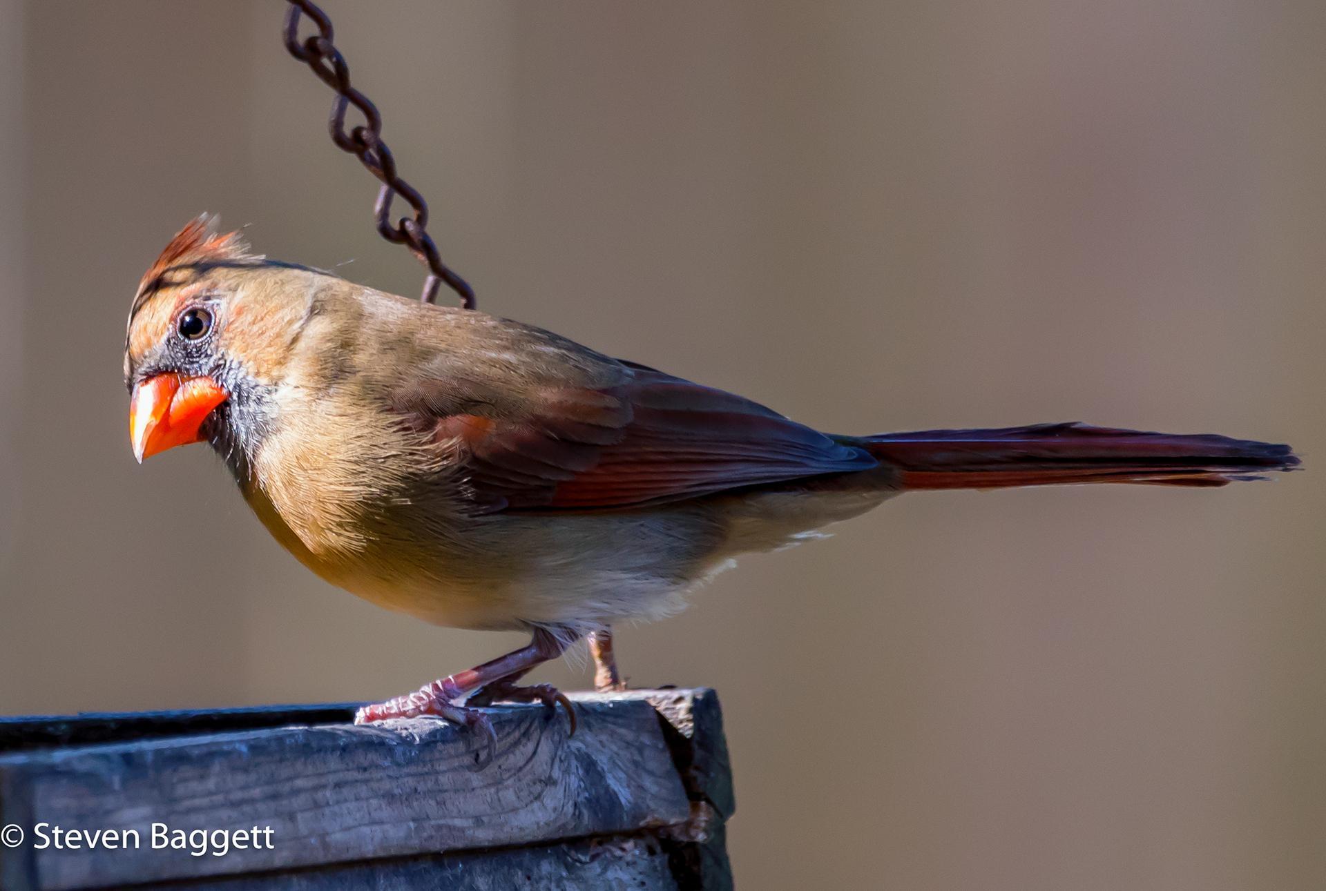 Птицы Steven Baggett