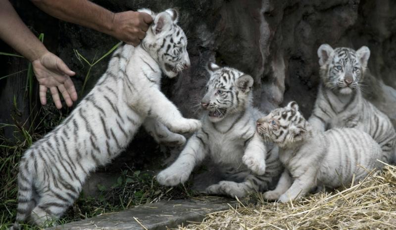 Белые тигрята и львята альбиносы в сафари парке Германии