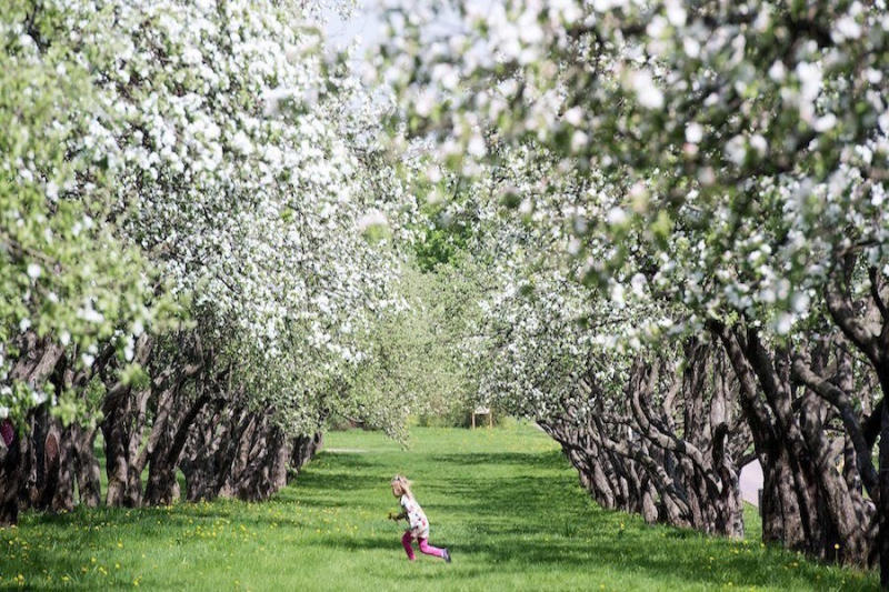A girl runs under blossoming apple trees in Moscows Kolomenskoye Park.