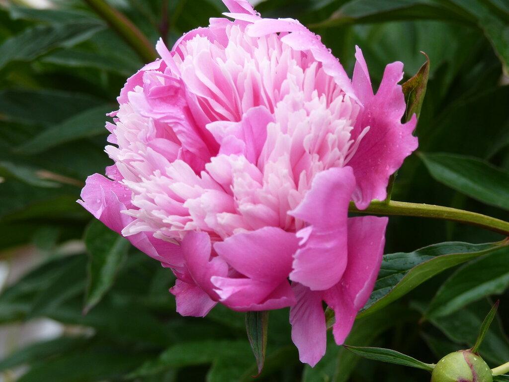 Цветут так чувственно махровые пионы…