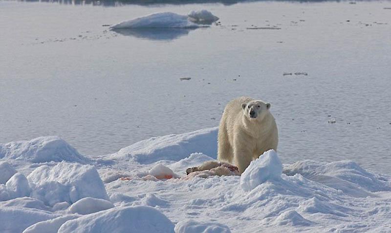 6. Первая фотография, на которой один медведь ест другого. Баренцево море, архипелаг Свальбард.