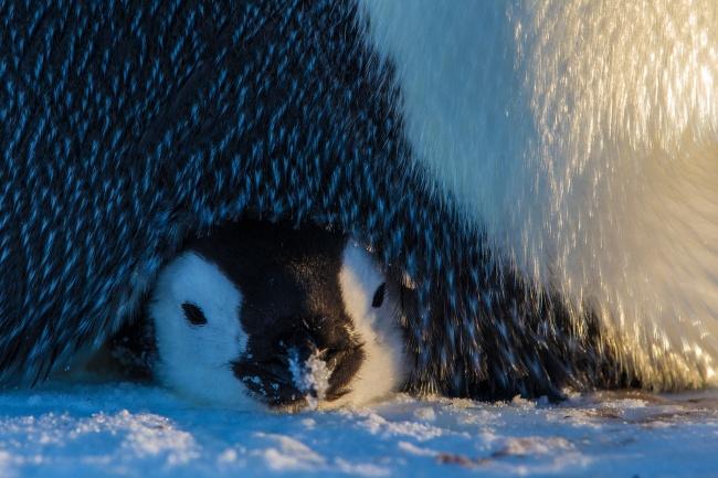 © Paul Nicklen / National Geographic  Хочется окунуться сголовой веенежность