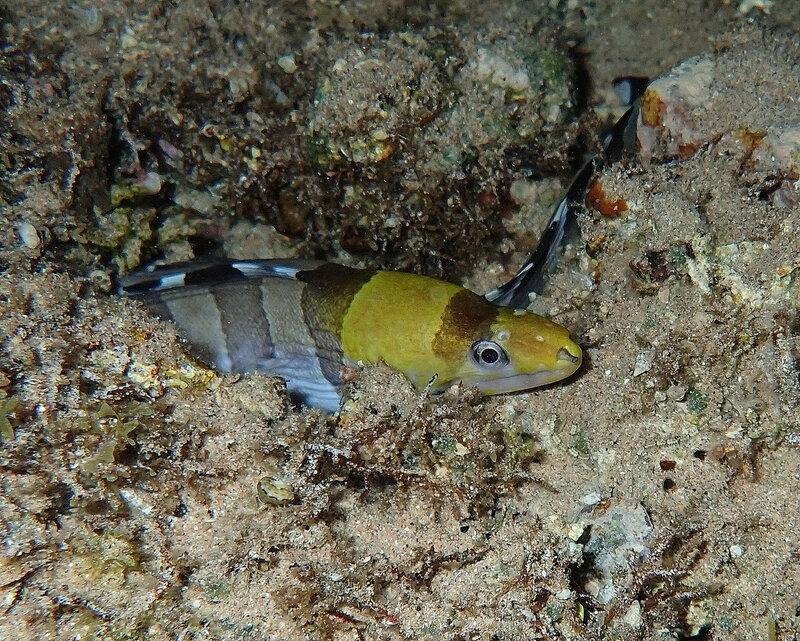 Желтоголовая мурена (Gymnothorax rueppellii)