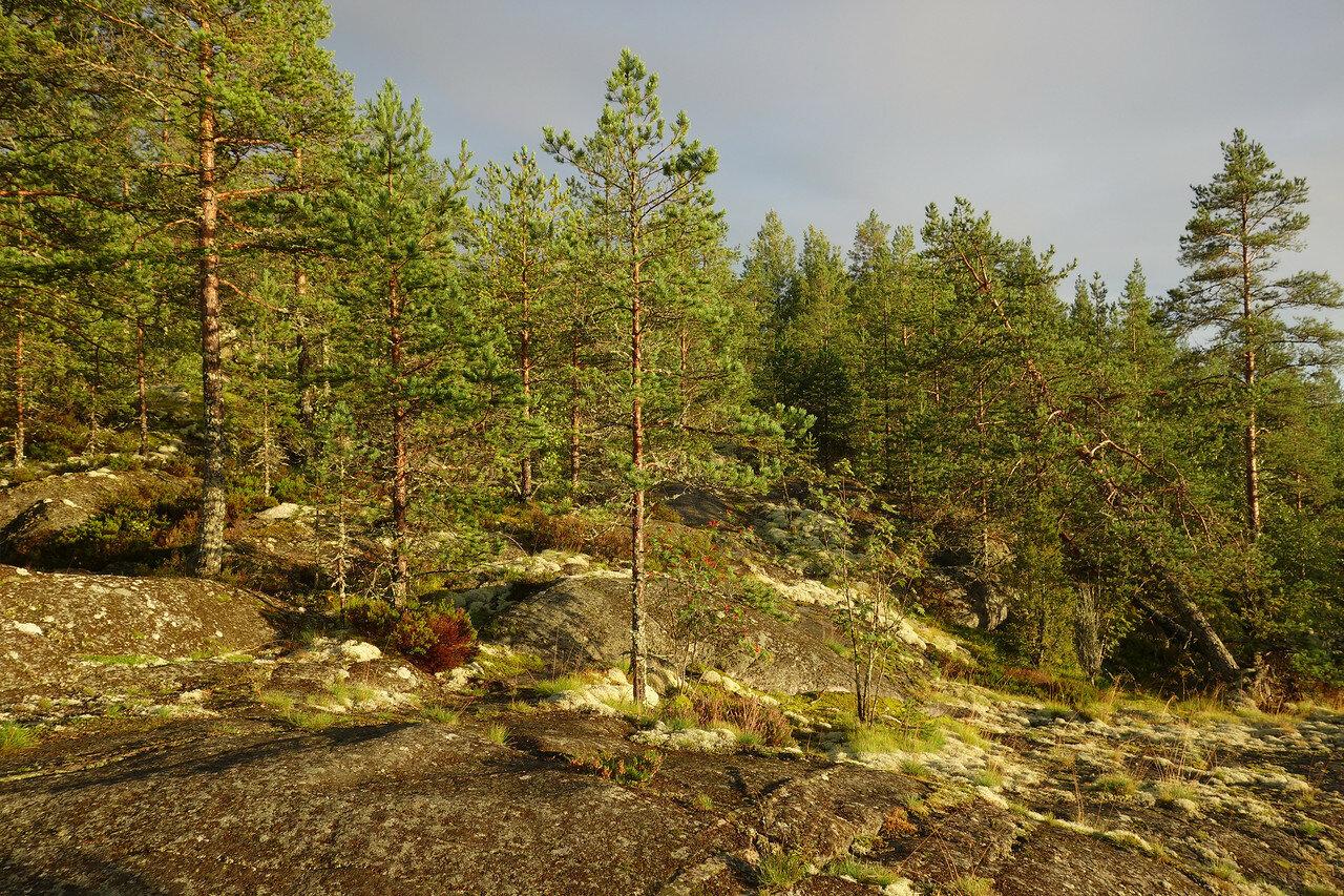 и меркнет золото, как камень, перед сосновыми холмами