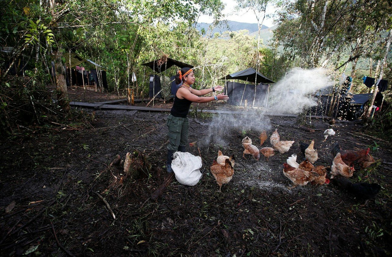 Patricia, a member of the 51st Front of the Revolutionary Armed Forces of Colombia (FARC), feeds chickens at a camp in Cordillera Oriental