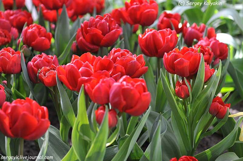 Tulipa Goal (15).JPG