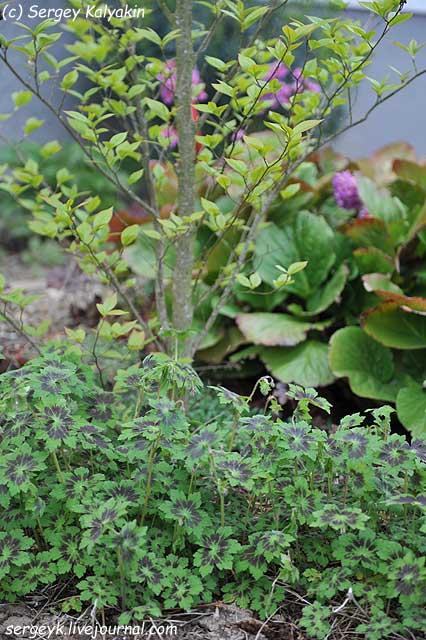 Geranium phaeum Samobor and Stewartia sinensis.JPG