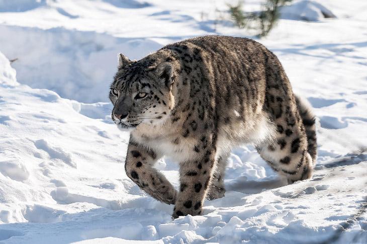 На сегодняшний день в дикой природе по разным подсчетам осталось от 4 до 7 тысяч особей снежного бар