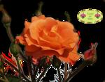 orangerose-sara5.png