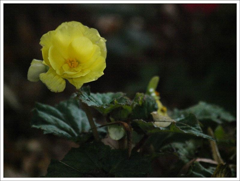 131_Begonia.jpg