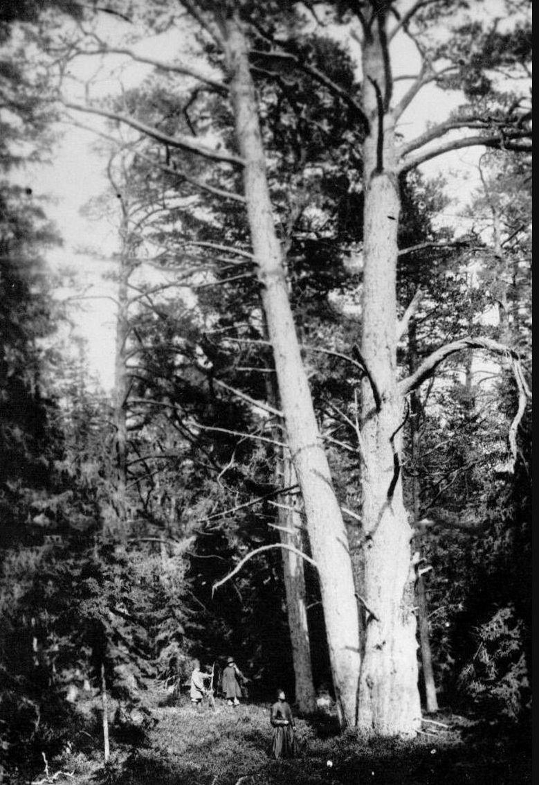 29. Лес на острове Коневец