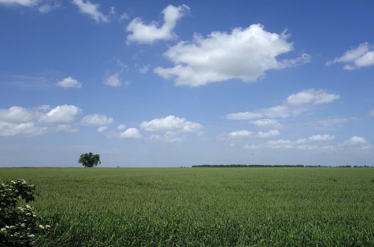 пшеница вродь