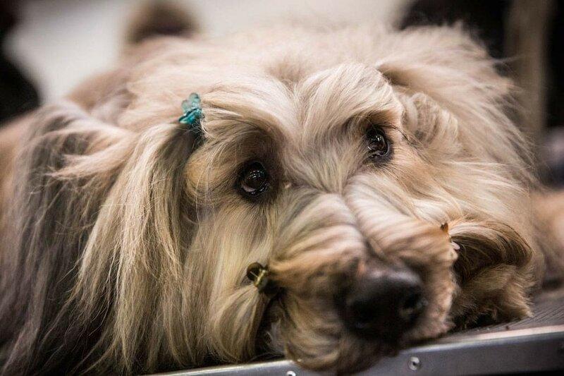 Фото. Выставка собак Westminster Kennel Club   потрясающе красивое мероприятие!