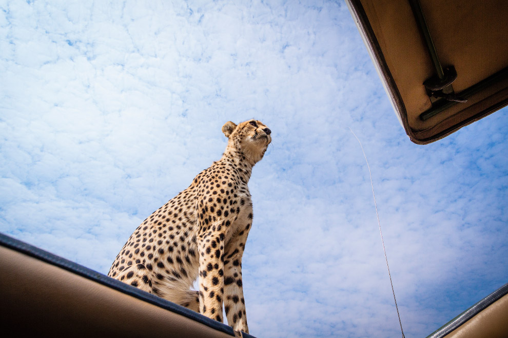 После первого знакомства с машиной гепард почувствовал себя достаточно комфортно, чтобы и засун