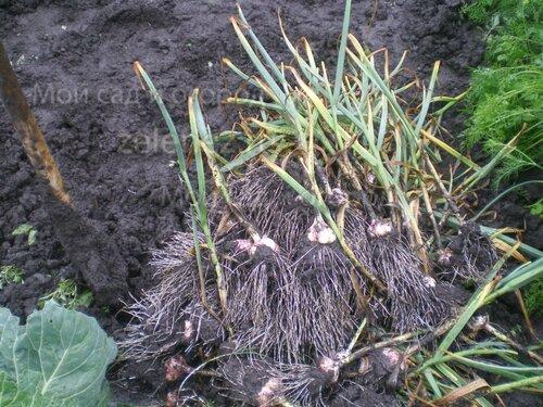 Убираем урожай озимого чеснока в дождь.