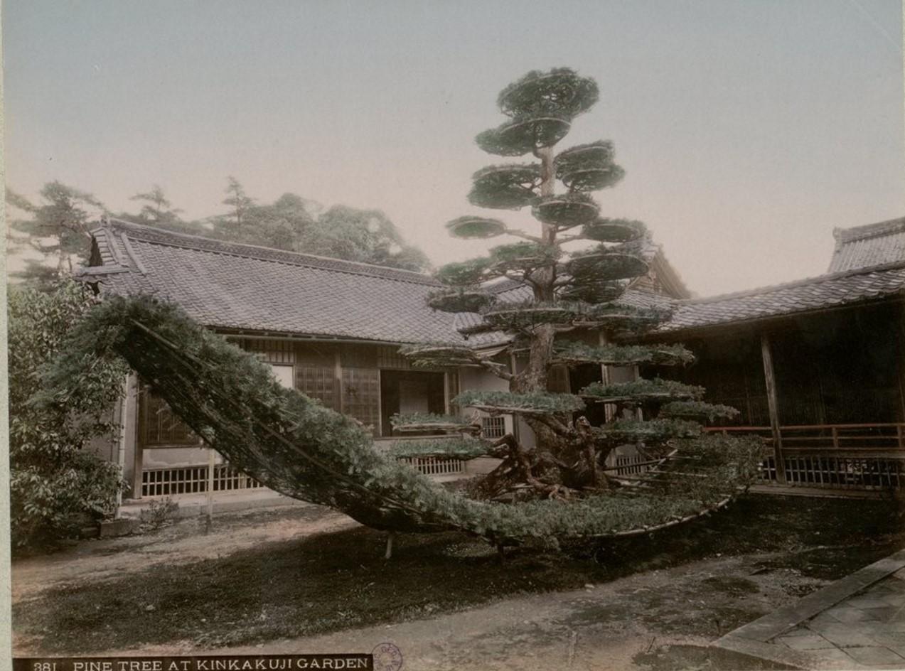 Киото. Сосна в саду храма Кинкаку-дзи