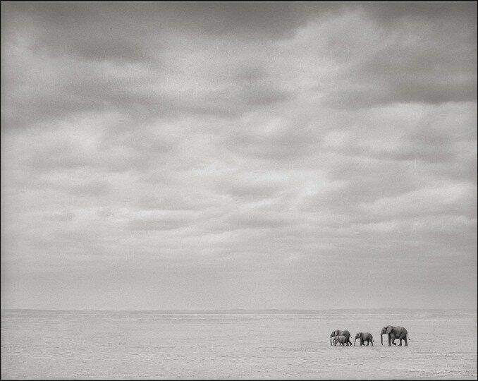 Elephants Alone, Amboseli