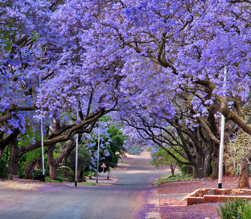 Blooming violet wood