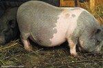 Наши свинки